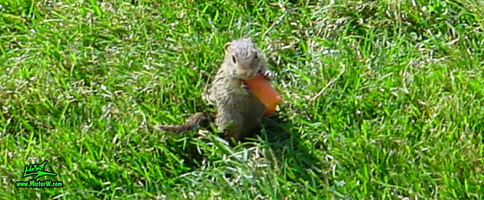 Hey Ground Squirrel... How's the carrot? Ground Squirrel Eating A Carrot