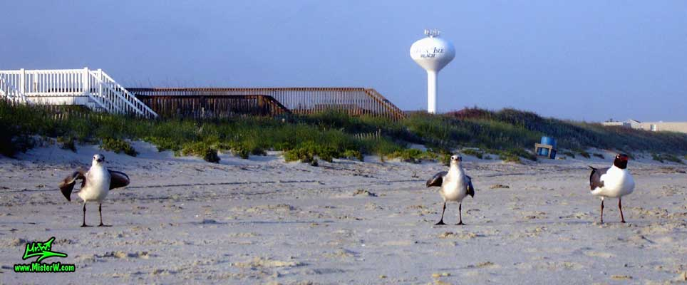 Photo of three Seagulls hanging out at Ocean Isle Beach, North Carolina 3 Ocean Isle Beach Seagulls