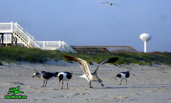 Photo of four Seagulls at Ocean Isle Beach, North Carolina 4 Ocean Isle Beach Seagulls