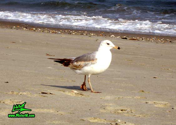 Photo of a Seagull bird doing a beachwalk Seagull Walking On The Beach