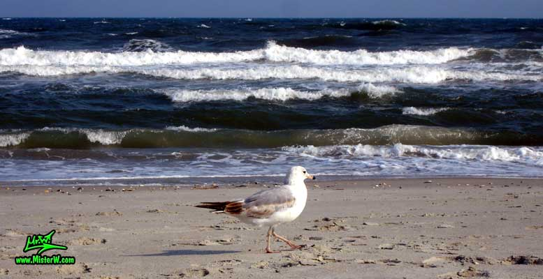 Photo of a Seagull walking down the beach & enjoying the surf Seagull Bird On The Beach