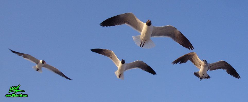 Photo of 4 Seagulls hovering in the air A Flock of Seagulls