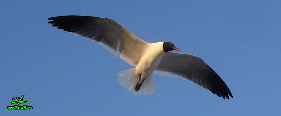 Photo of a Seagull bird flying in the air Hovering Seagull