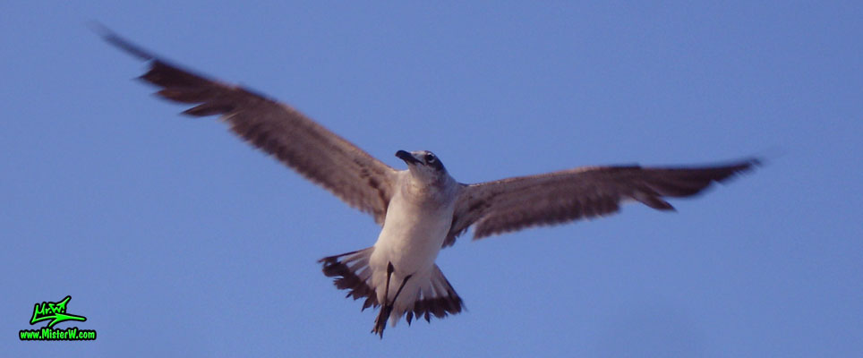 Photo of a Seagull hovering in the air Flying Seagull