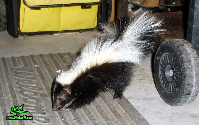 Photo of a little Skunk checking out the area around the BBQ Little Skunk