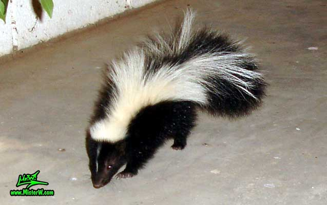 Photo of a little Skunk walking towards me on the patio Skunk Baby