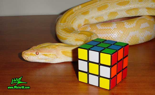 Photo of Del the Albino Burmese Python snake that likes the Magic Cube Albino Burmese Python Snake