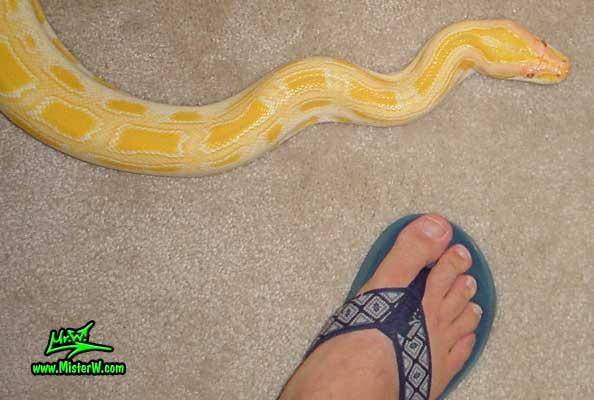 Photo of Del the Albino Burmese Python snake & my foot Awesome Albino Burmese Python Snake