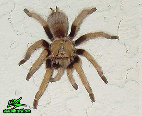 Photo of a Arizona Blond Tarantula on a white stucco wall in Wickenburg, Arizona Arizona Blond Tarantula