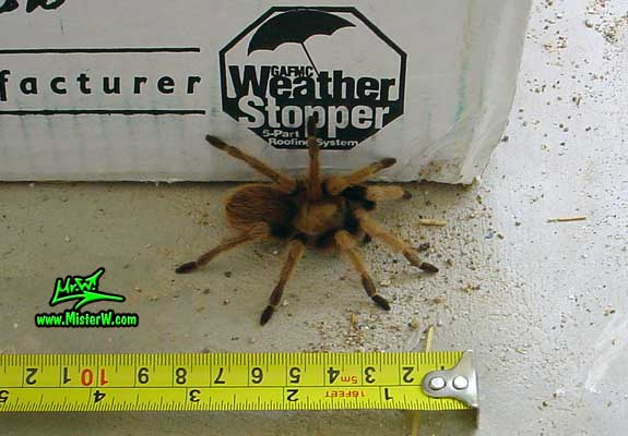 Photo of a Arizona Blond Tarantula right next to a tape measure in Wickenburg, Arizona Measuring a Arizona Blond Tarantula