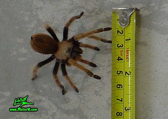 That Eight Legged Freak doesn't like my tape measure and starts to attack it Arizona Blond Tarantula Attack