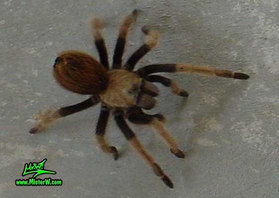 Photo of a mad Arizona Blond Tarantula in Wickenburg, Arizona Mad Arizona Blond Tarantula