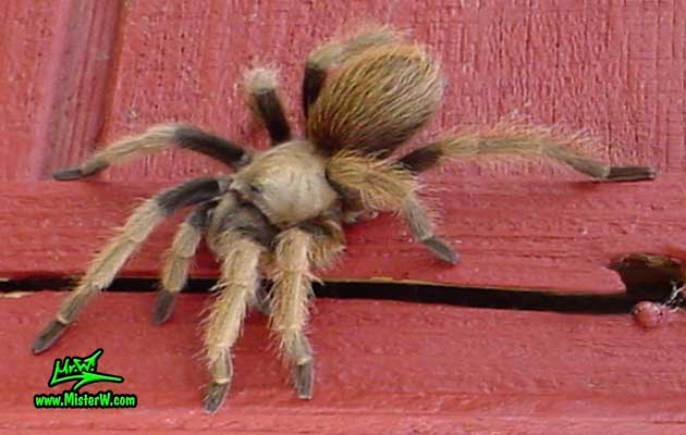 Photo of a Arizona Blond Tarantula looking at me in Wickenburg, Arizona Arizona Brown Tarantula Posing