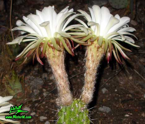Photo of a blooming Golden Torch Cereus cactus in Arizona Blooming Golden Torch Cereus Cactus