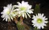 Golden Torch Cereus - Echinopsis spachiana in the Plants Photo Gallery