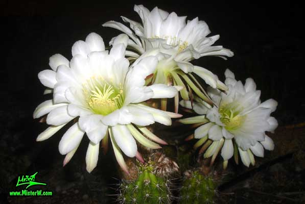 Photo of a three Golden Torch Cereus cactus flowers in Arizona 3 Golden Torch Cereus Flowers