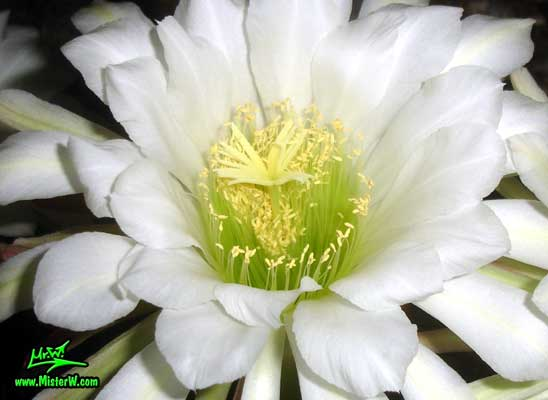Photo of a Golden Torch Cereus cactus flower in Arizona Golden Torch Cereus Flower